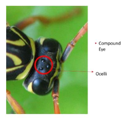 Figure 1: Insect Compound Eye and Ocelli