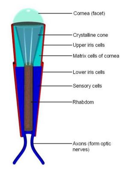 Figure 3: Structure of Ommatidium