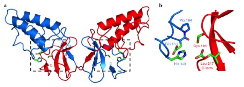 Figure 2. Crystal Structure of the NS2 Protease Domain