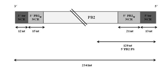 Figure 3.1: Schematic representation of wt PB2 vRNA of WSN virus
