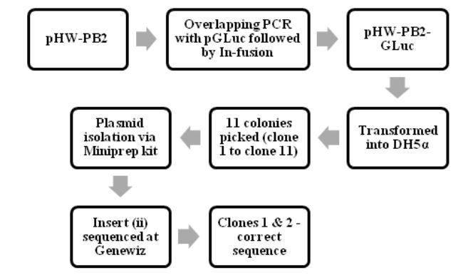Figure 4.1: The process of making pHW-PB2-GLuc and cloning it into E.coli cells