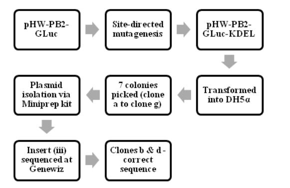 Figure 4.2: The process of making pHW-PB2-GLuc-KDEL and cloning it into E.coli cells